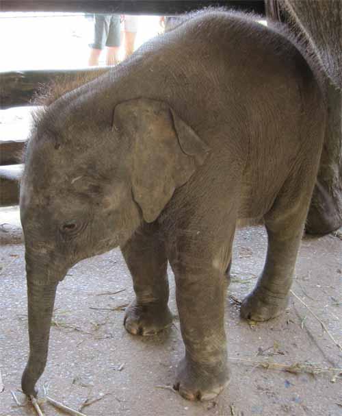 Maesa Elephant Camp: baby elephant