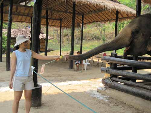 Maesa Elephant Camp: Nadia Lee feeding Mom