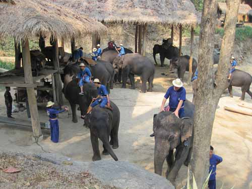 Maesa Elephant Camp: elephants and mahouts
