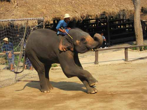 Maesa Elephant Camp: elephant goalie