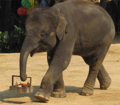 Maesa Elephant Camp: elephant artist