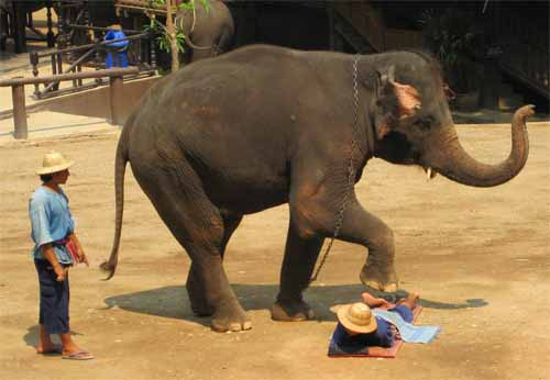 Maesa Elephant Camp: elephant massages mahout