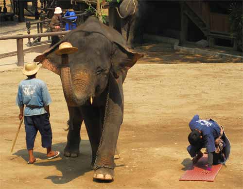 Maesa Elephant Camp: mahout still lives!