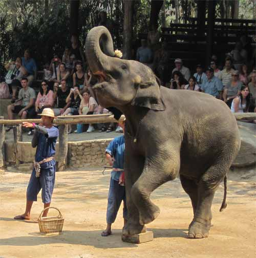 Maesa Elephant Camp: elephant working hard to crush humans