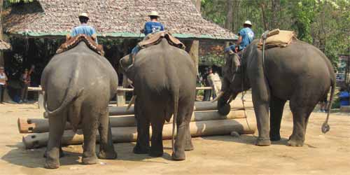 Maesa Elephant Camp: elephant building something...
