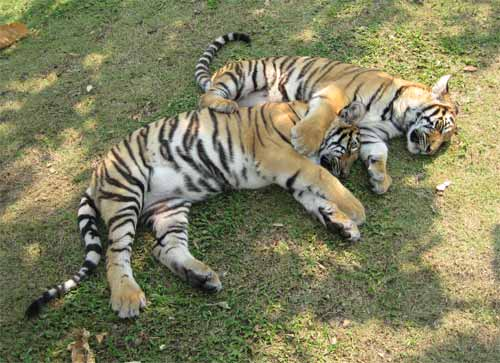 Tiger Kingdom: sleeping tigers